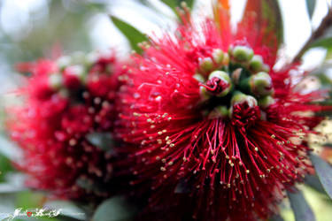 Callistemon, In Bloom by jodi-kaos