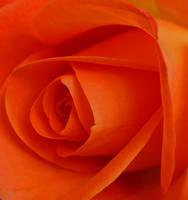 Roses by JulieJones