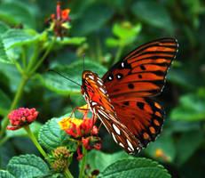 Gulf Fritillary Butterfly by Squirrelflight-77