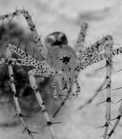 Green Lynx Spider macro by Squirrelflight-77