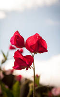 Crimson Flower by jamieoliver22