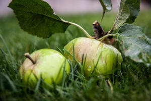 Apples in the Grass by jamieoliver22