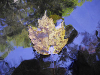 Maple Leaf on Creek by theguv2