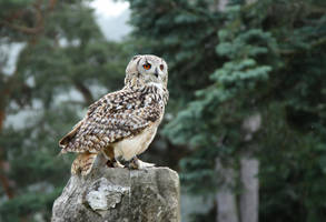 Bubo bengalensis by LisaPannek