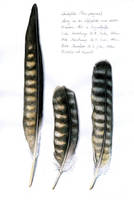 Peregrine Feathers by LisaPannek