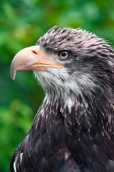 Eagle III by gerryray