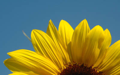 Sunflower and Sky by dimage