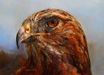 Northern Red-Tailed Hawk by Stungeon