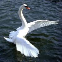 Swan wings :stock by Flynn-the-cat