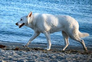 White German Shepherd 2 by CompassLogicStock