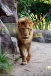Male Lion by CompassLogicStock