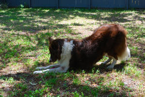 Border Collie Bow by CompassLogicStock