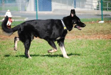 Black German Shepherd Dog by CompassLogicStock