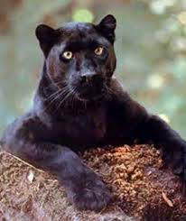 Panther4 by Enterprisecv-6
