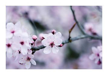 Cherry by fd9z0r