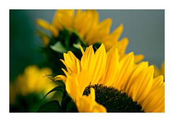 Sunflower by fd9z0r