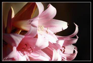 ...i lilium... by Elessar777
