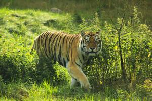 Tiger 2 by landkeks-stock