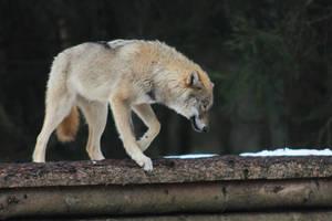 Wolf Pose 1 by landkeks-stock
