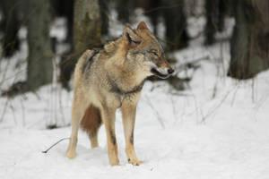 Wolf Pose 2 by landkeks-stock