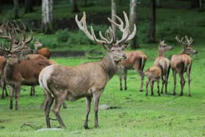 Red Deer 4 by landkeks-stock