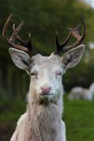 Deer 6 by landkeks-stock