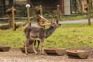 Fallow Deer 5 by landkeks-stock