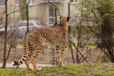 Cheetah 2 by landkeks-stock