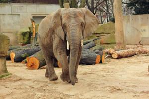 African Elephant 1 by landkeks-stock