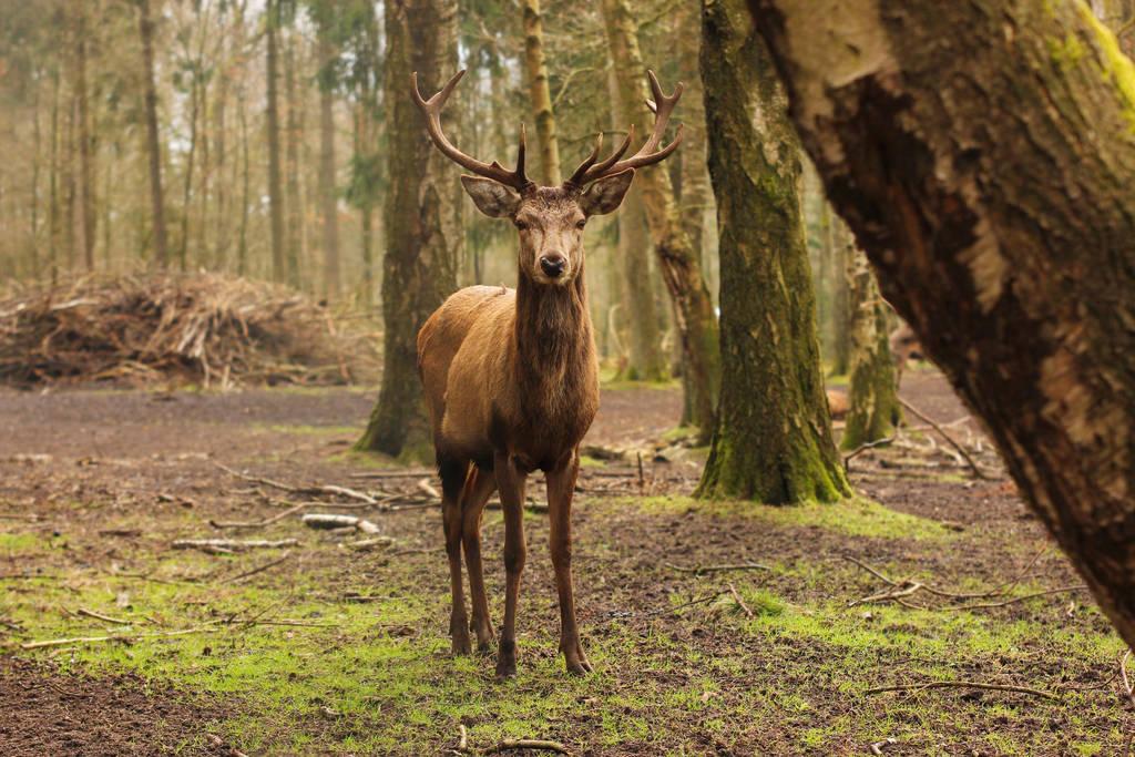 Red Deer 7 by landkeks-stock
