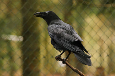 Raven 1 by landkeks-stock