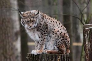 Lynx 3 by landkeks-stock