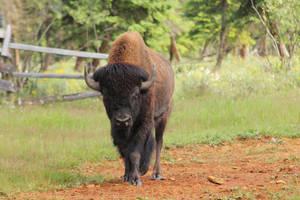 Bison by landkeks-stock