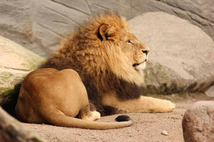Male Lion 1 by landkeks-stock