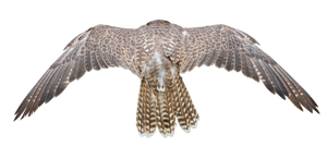 Cut out Wings PNG by landkeks-stock