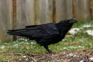 Raven 3 by landkeks-stock