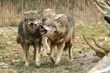 Wolf Pose 34 by landkeks-stock