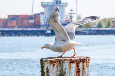 Seagull by landkeks-stock