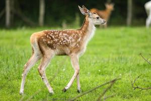 Red Deer 16 by landkeks-stock