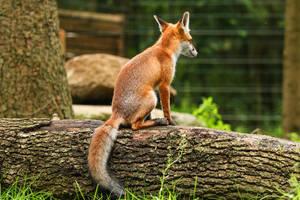 Fox 4 by landkeks-stock