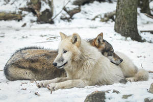 Wolf Pose 37 by landkeks-stock