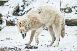 Wolf Pose 39 by landkeks-stock