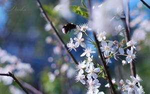 bumblebee on a cherry.... by TheRedGirl