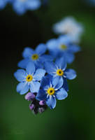 forget-me-nots4... by TheRedGirl