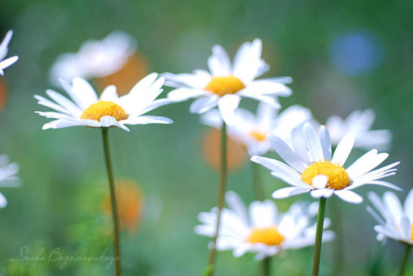 camomiles... by TheRedGirl