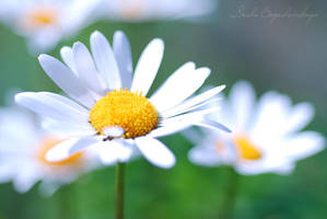 camomiles.. by TheRedGirl