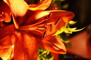 Lily by pixellorac