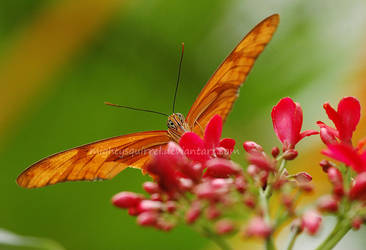 Butterfly 2 by MightySquirrel