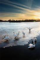 Swans at the dark evening by vlastas