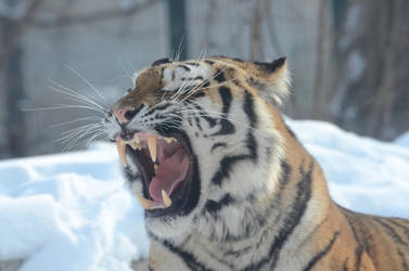 Tiger 10 by Lakela